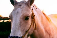 Approaching a head of a white horse with mooring straps stock image