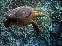 Approaching Honu (Green Turtle) 5 of 5 Stock Photography