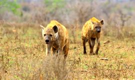 Approaching spotted hyenas stock images