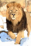 Approaching lion Royalty Free Stock Photography
