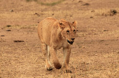 Approaching Lion Stock Image