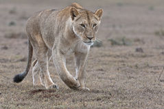 Approaching Lioness Royalty Free Stock Image