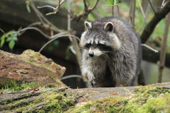 Approaching racoon Royalty Free Stock Photos