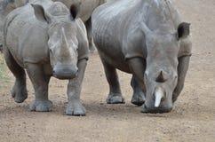 Approaching Rhinos Stock Image