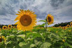 Approaching Storm Sunflower Field Stock Image