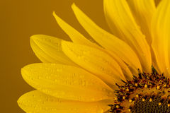 Approaching a sunflower on a brown background Stock Photo