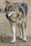 Approaching wolf Royalty Free Stock Image