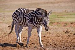 Approaching Zebra Stock Image