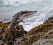 Approccio dei gabbiani di mare Fotografia Stock Libera da Diritti