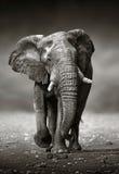 Approccio dell'elefante dalla parte anteriore Immagini Stock