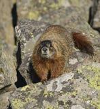 Approccio della marmotta Immagini Stock