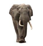 Approche d'éléphant d'isolement Images stock