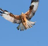 Approche d'aigle Photo libre de droits