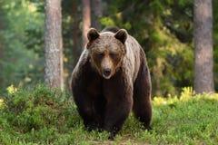 Approche d'ours de Brown photo libre de droits