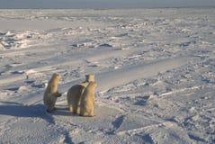 Approche d'ours de montre d'ours blancs Photographie stock