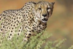 Approche de guépard image libre de droits