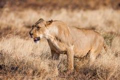 Approche de lionne, marchant directement vers l'appareil-photo images libres de droits