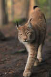 Approching lynx. The approaching eurasian lynx in the forest Stock Image