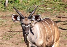 Approximately 12 Month Old Nyala Male Near The Chobe River In Botswana Stock Photo