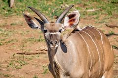Approximately 12 Month Old Nyala Male Near The Chobe River In Botswana Royalty Free Stock Image