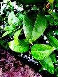 Après des baisses d'effet de pluie sur des feuilles photos libres de droits