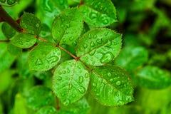 Après l'eau de pluie les baisses forment sur ont monté des feuilles dans le jardin Photographie stock libre de droits