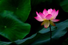 Après la pluie du lotus Photo stock