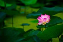 Après la pluie du lotus Photo libre de droits