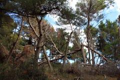 Après la tempête - forêt de pin sur la roche au bord de mer adriatique (Monténégro, hiver) Images libres de droits