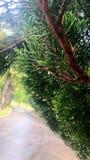Après le rain_pine et l'eau drop02 image stock