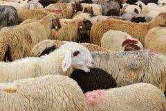 Après le rassemblement vers le bas des moutons, l'Autriche images stock