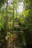 Après-midi de marais de Cypress chauve photo libre de droits