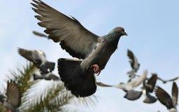 Après-midi de recherche de nourriture de beau pigeon photo stock