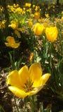Apra e tulipans vicini fotografia stock