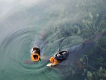 Apra i pesci della bocca Fotografie Stock Libere da Diritti