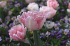 Apra i tulipani rosa teneri dei germogli Immagine Stock Libera da Diritti