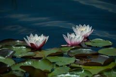 Apra i waterlilies Fotografia Stock