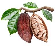 Apra il baccello del cacao con i semi del cacao che sta pendendo dal ramo immagini stock