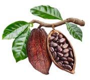 Apra il baccello del cacao con i semi del cacao che sta pendendo dal ramo fotografia stock libera da diritti