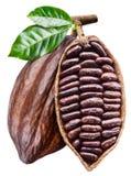 Apra il baccello del cacao con i semi del cacao che sta pendendo dal ramo Foto concettuale fotografia stock libera da diritti