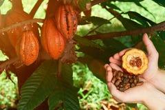 Apra il baccello del cacao in mano dell'agricoltore Fotografia Stock Libera da Diritti