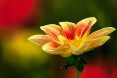 Apra il fiore giallo Fotografie Stock