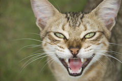 Apra il gatto Mouthed Fotografia Stock