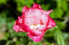 Apra il germoglio della rosa rossa Fotografia Stock Libera da Diritti