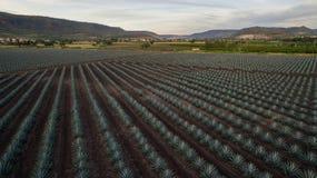 Apra il piano del raccolto dell'agave Fotografie Stock Libere da Diritti