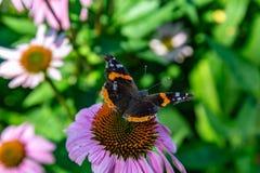 Apra il punto di vista delle ali della farfalla di Vanessa Atalanta Red Admiral in un campo dell'echinacea Coneflowers fotografia stock