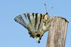 Apra il ritratto della farfalla delle ali Immagini Stock Libere da Diritti