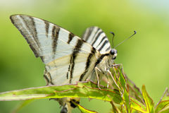 Apra il ritratto della farfalla delle ali Fotografia Stock Libera da Diritti