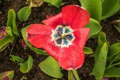 Apra il tulipano Immagini Stock Libere da Diritti