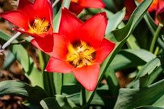 Apra il tulipano rosso Immagine Stock